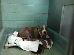 """^^ SUPER URGENT ^^ 3/31/14 Brooklyn Center BIG BOY. My Animal ID # is A0994927. I am a male gr brindle cane corso mix. The shelter thinks I am about 5 YEARS old. I came in the shelter as a STRAY on 03/26/2014 from NY 11230, owner surrender reason stated was STRAY. Terrified, in pain & poor health. Who knows what hell this poor baby has been living in. Then he's placed in another hell- NYC ACC. No picture or description on 1st day. DON""""T LET THEM WIN. Help us save this broken soul!"""