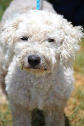 Joseph is an adoptable Poodle Dog in Bryan, TX.  ...