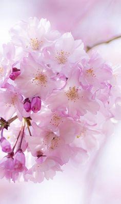 かわいい桜の花と蕾のiPhone壁紙 | 壁紙キングダム スマホ版