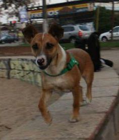 pequeño jack rusell terrier