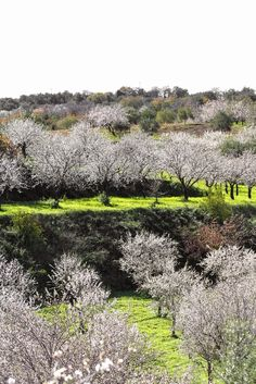 Almond trees in blossom, Noto, Sicily, Italy   By Vanigliacooking