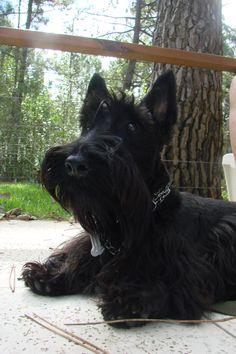 Rocco, my dear scottish terrier