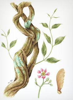 Jagube (Banisteriopsis caapi)   Ciro MacCord