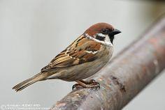 Tree sparrow - Animalia-life.com en Google