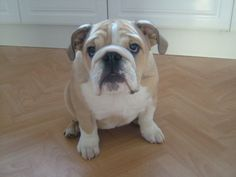 Miss Higgins - Puppy Bulldog