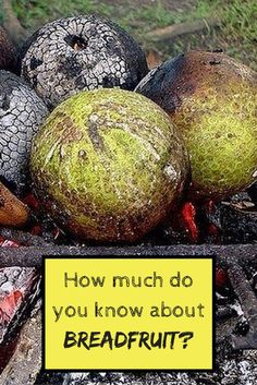 How much do you know about breadfruit? Find out more at http://jamaicans.com/facts-jamaica-first-breadfruit-tree/  by @jasonsugna #breadfruit #jamaicanfood #jamaicanrecipes #caribbeanfood #wejaminate