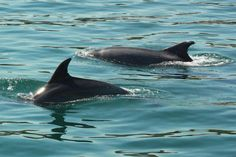 3fd1747396eb Wild Dolphins on Sado´s River - you must visit Setubal Feel free
