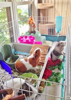 """Guinea Pig Fancy says, """"Hey girls! I think I smell Mama...and breakfast!"""""""
