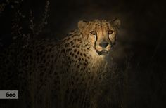 Cheetah by Rainer Martini on 500px
