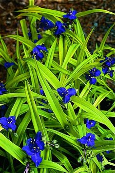 "Tradescantia 'sweet kate', (Spiderwort) Comes in various blue and purple colors, 12"" to 18"" Partial Shade, blooms early summer to early fall"