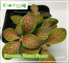 One of our favorites, Fittonia! Also known as Nerve Plant, this gorgeous botanical has deep green leaves with colorful veins. It's a spreading evergreen plant that grows well in high humidity homes or easily in terrariums! Cactus Pot, Buy Cactus, Cactus Plants, Tall Indoor Plants, Hanging Plants, Nerve Plant, Outdoor Pots, Indoor Outdoor, Inside Plants