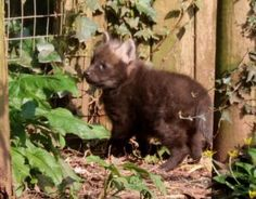 Maned wolf pups for Paignton Zoo | Discover Animals