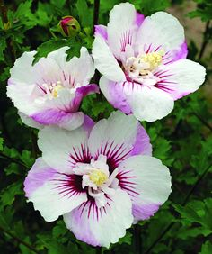 Klehm's Song Sparrow Farm and Nursery--Woody Plants--Hibiscus syriacus First Editions® Fijitm ('Minspot')