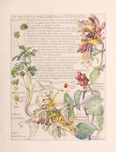 1910 Antique Botanical Print by Isabel Adams: Honeysuckle Botanical Drawings, Botanical Prints, Gravure Illustration, Illustration Art, Nature Journal, Le Far West, Fauna, Art Sketchbook, Floral Watercolor