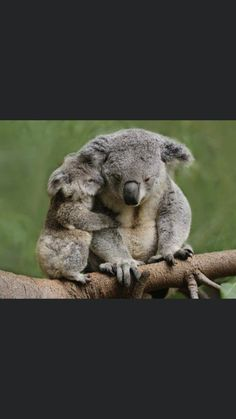 Learn How To sell your photos online easily And Make Profits. Cute Funny Animals, Funny Cute, Baby Koala, Koala Bears, Animals And Pets, Baby Animals, Koala Marsupial, Australia Animals, Animal Magic