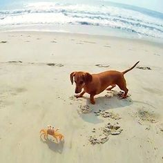 Little hot dog vs big ghost crab. And the winner is......