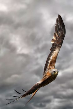 Red Kite in flight by wildlife photographer Martin Lawrence Eagle Pictures, Bird Pictures, Flying Photography, Animal Photography, Milan Royal, Beautiful Birds, Animals Beautiful, Amazing Animals, Red Kite