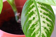This is a pretty neat tip we are sharing today, How to Clean Indoor Houseplants and Shine the Leaves! Plus we have some easy plant food tips too!You can also us…