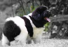 Baby Landseer ..... Our puppy will be here in May.