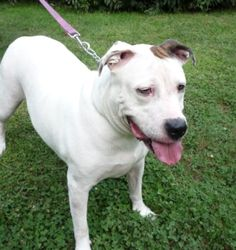 D26770 Penny is a 5-year old American Bulldog/Pitbull cross who is white with brown ears and weighs 71 pounds.  She is a sweet girl that gets along well with other dogs.  Since she's not getting much exercise here, she's got some anxious energy.  Daily walks will help with that AND help her to shed a few pounds!  She'll be fine in a home with cats.