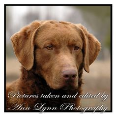 Pretty dog!  Chesapeake Bay Retriever
