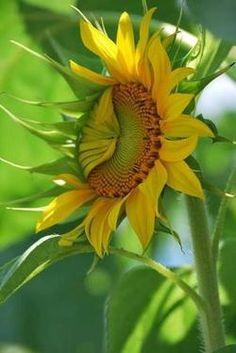 Sunflower just waking up