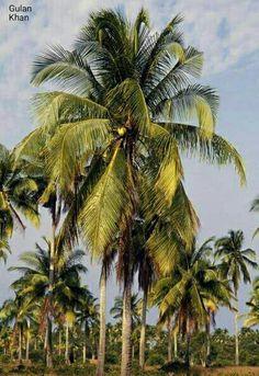 So wonderful Coconut Palm trees Plantations in Kota Bharu Malaysia