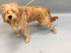 12/2/16 NYC ACC A1098284 Check out Buddy's profile on AllPaws.com and help him get adopted! Buddy is an adorable Dog that needs a new home. https://www.allpaws.com/adopt-a-dog/golden-retriever-mix-poodle-standard/5551620?social_ref=pinterest