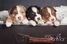 Tres cachorros de Pastor Australiano asomando de una maleta