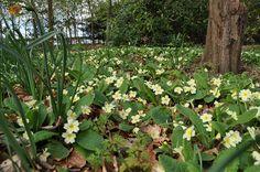 Wild woodland primroses