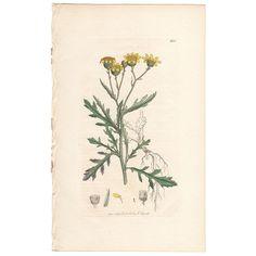 Sowerby antique 1799 hand-colored engraving, Pl 600 Inelegant Ragwort  | eBay