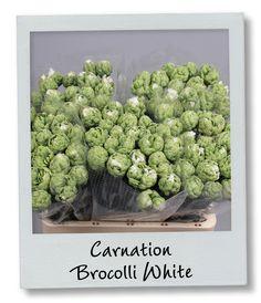 Holex Insights newsletter week 3 - Carnation Brocolli White