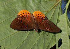 Butterflies of Amazonia - Eurybia juturna - Juturna Underleaf