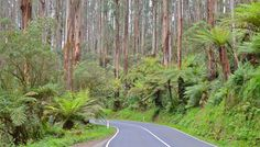 Black Spur Drive between Healesville and Marysville, Victoria » This looks like a fun road trip.