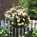 Knockout Roses,blooms all summer