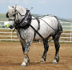 By popular demand--here are some more pictures of that speedy grey Percheron from yesterday's barrel racing post . He was half of a dappled . Big Horses, Work Horses, Horses And Dogs, White Horses, Pretty Horses, Horse Love, Beautiful Horses, Animals Beautiful, Clydesdale