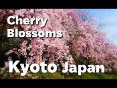 KYOTO JAPAN 京都観光の桜・満開の枝垂桜の名所 Weeping cherry trees spots in Kyoto 半木の道 平安...