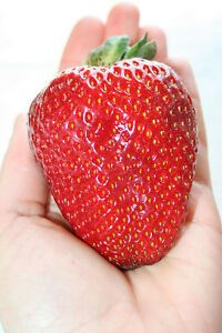 Egrow Giant Red Strawberry Seeds Heirloom Super Japan Strawberry Garden Seeds - All About Gardens Giant Strawberry, Strawberry Cheesecake Bites, Strawberry Seed, Strawberry Garden, Strawberry Plants, Full Sun Perennial Flowers, Flowers Perennials, Planting Flowers, Can Dogs Eat Strawberries