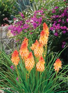 Kniphofia Creamsicle for the full sun perennial garden and well drained soils