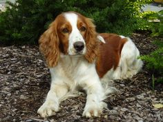 Sad eyes Welsh Springer Spaniel dog photo