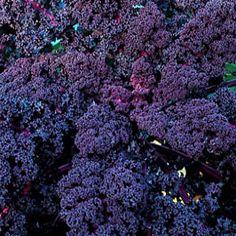 dark purple ornamental kale
