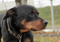 "Sir Limps (Family Dog) is an adoptable Rottweiler Dog in Jersey City, NJ. Sir Limps is my name, being sweet is my game. I have very soft, sweet eyes and you can't help but ""awwww"" when you see me. I enjoy being petted and know commands such as ""sit"", ""down"" and ""paw"". I'd love to learn more tricks.I love kids and am friendly with strangers. I can be around other dogs but slow introductions are always advised.  Wondering why I'm named Sir Limps? Well come to LHS and find out! ;)"