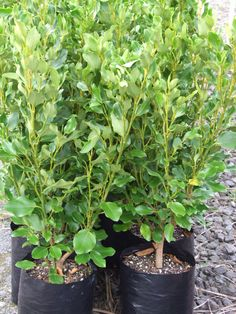 Kapuka, Griselinia littoralis 'Broadway Mint' is a very popular cultivar. This shrub can be used clipped as a formal hedge to - high Garden Trees, Garden Plants, Garden Bed, Beach Gardens, Outdoor Gardens, Hedging Plants, Hedging Ideas, Mint Plants, Garden On A Hill