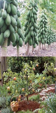 How To Grow Some Types Of Fruit Trees In Containers In 2020 Fruit Trees In Containers Fruit Garden Fruit Trees