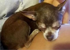 Lost Dog - Chihuahua Short Haired - Tallahassee, FL, United States
