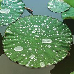 via Instagram skhbg: #ÜberWasser #Lotusblatt #Arboretum #Ellerhoop