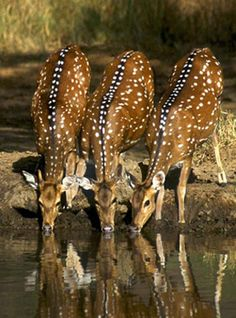 CHITAL....also known as the Indian Spotted Deer or Axis....found on grasslands and open woodland in India and Sri Lanka....a body length of 3.25 - 5 ft, a tail length of 4 - 10 inches) and a weight of 155 - 175 lbs....lengths of horns up to 30 inches....can reach speeds up to 40 mph