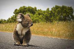 Caution! Koala on the road..By:jujuba