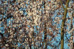 primavera ciruelo en flor