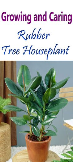 Rubber tree plant care as a houseplant is easy. If you keep it in a well-lit position in your home. Besides the ornamental aspect, rubber tree is considered an air purifying plant.